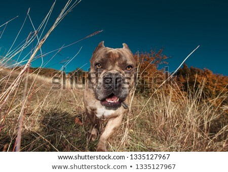beautiful American bully panting and walking in a field Stock photo © feedough
