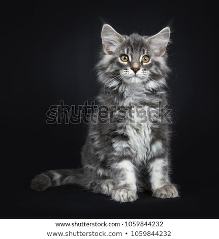 Blue tabby with white Maine Coon kitten on black Stock photo © CatchyImages