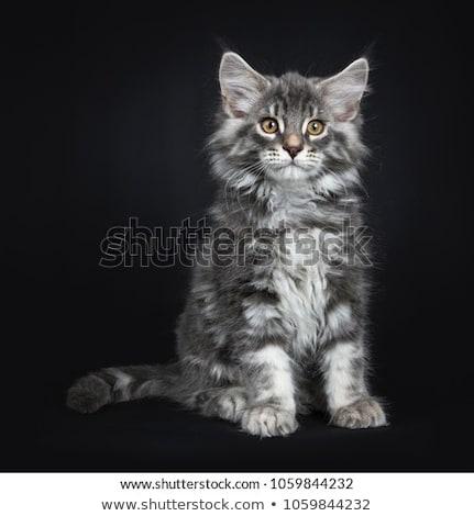 azul · branco · Maine · gatinho · preto · bonitinho - foto stock © CatchyImages