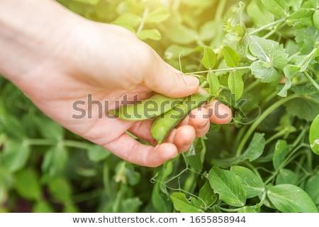 zielone · rozwój · sieci · dziedzinie · warzyw · diety - zdjęcia stock © romvo