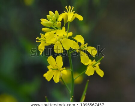 picture of canola flower and yellow field stock photo © konradbak