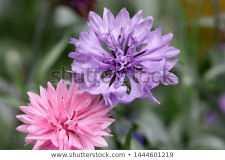 Garden cornflower Stock photo © rbiedermann