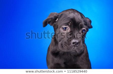 Triest golden retriever portret zwarte studio mooie Stockfoto © vauvau