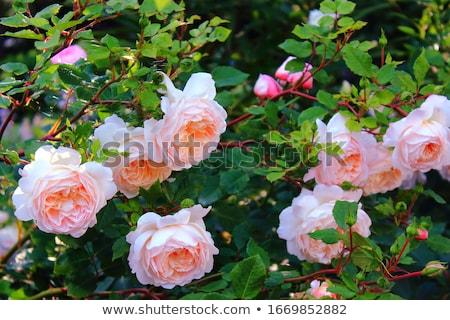 Gyönyörű tavasz kert díszítő tűlevelűek kicsi Stock fotó © artush
