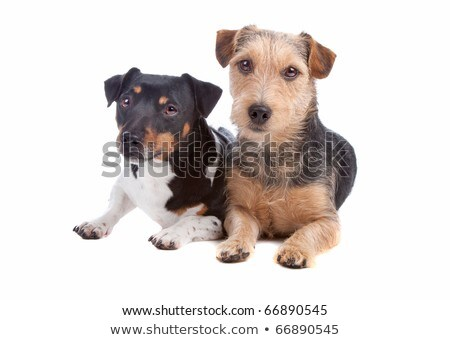 mixed breed wired hair dog portrait in studio Stock photo © vauvau