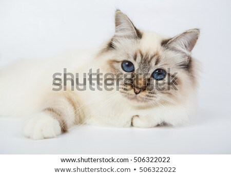 Stock photo: Grey domestic cat  in photo studio
