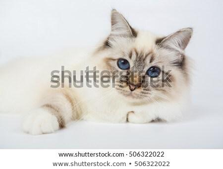 grey domestic cat in photo studio stock photo © vauvau
