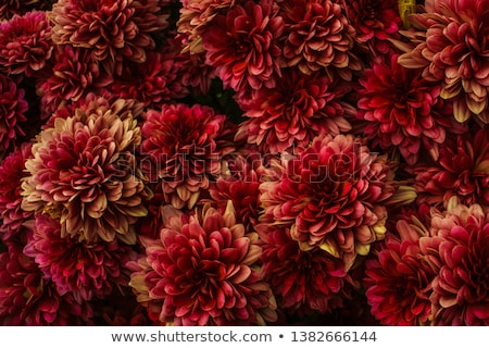 details of flower background with yellow pink and red blooms stock photo © sarahdoow