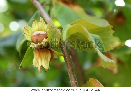 branch of filberts Stock photo © Antonio-S