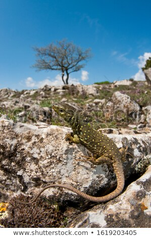 Ocellated lizard. Stock photo © angelsimon