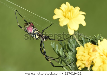 Spider, Nephila clavata Stock photo © Arrxxx