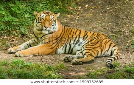 tigris · állatkert · test · narancs · fej · állat - stock fotó © ca2hill