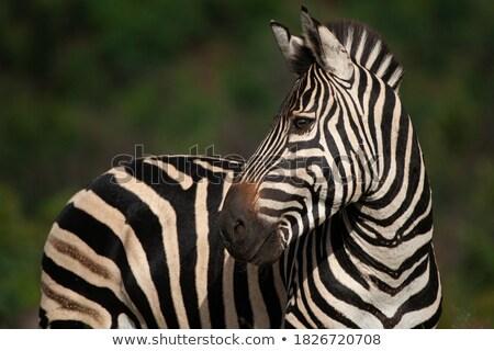 zebra family portrait in game reserve with beautiful mane stock photo © jacojvr