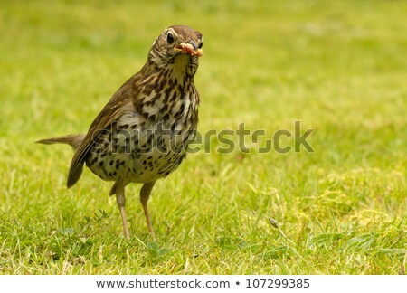 Song thrush (Turdus philomelos) in an English garden. Stock photo © latent