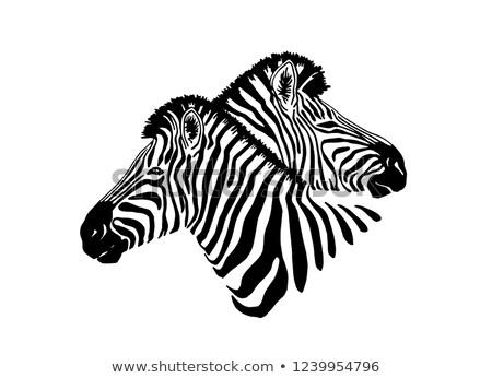 kettő · zebrák · etetés · fű - stock fotó © witthaya