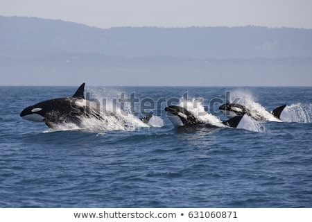 pod of killer whales stock photo © searagen
