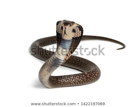 Kobra kapucnis sztrájk pozició fotó fehér Stock fotó © colematt