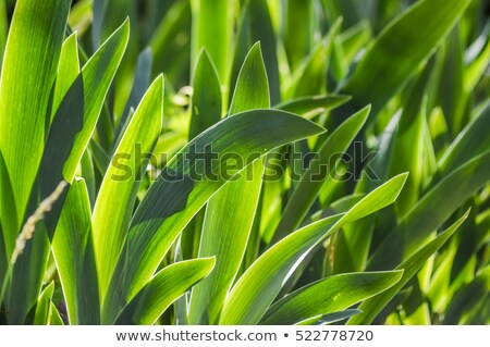 Iris plant leaf in back light with white veins Stock photo © AlessandroZocc