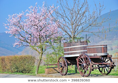 blooming almond tree on the german wine route stock photo © zerbor