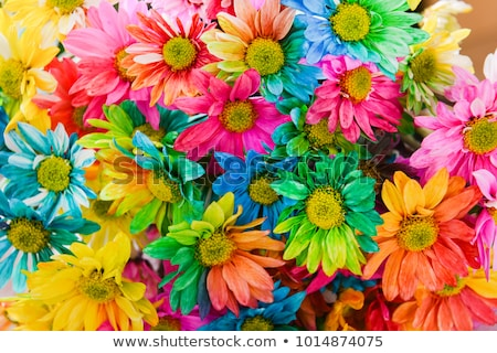 Colorful Chrysanthemums Stock photo © ArenaCreative