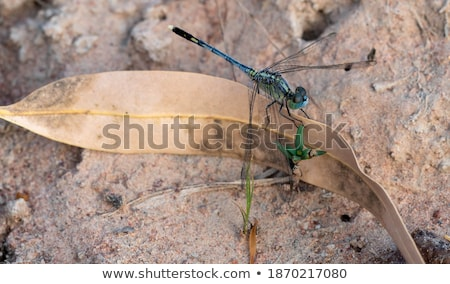dragonfly outdoor perched in a stone  Stock photo © dacasdo