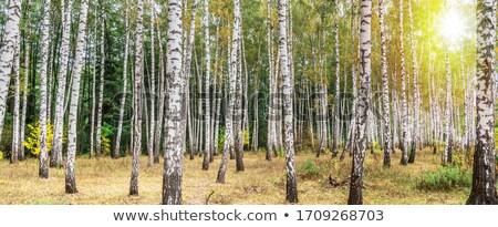 Autunno betulla foresta erba legno panorama Foto d'archivio © inxti