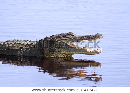 Aligator głowie wody rzeki niebezpieczeństwo Zdjęcia stock © saddako2
