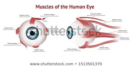 Olho músculo ilustração estudar bulbo cirurgia Foto stock © alexonline