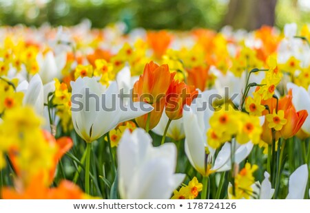 Mix of Holland white and orange tulips  Stock photo © tannjuska