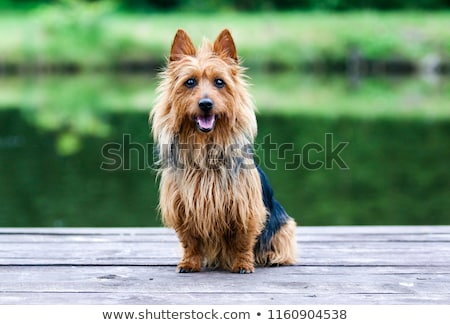 Portrait of Australian Silky Terrier in a summer garden Stock photo © CaptureLight