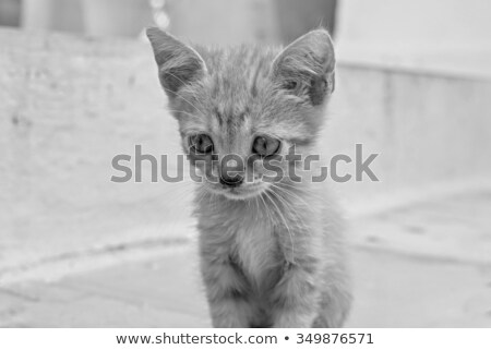 Triest grijs kitten pluizig witte Stockfoto © dnsphotography