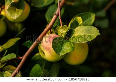 Stock fotó: Három · piros · almák · fa · rózsás · faág