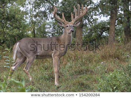 鹿 · バック · 立って · 森林 · 動物 - ストックフォト © brm1949