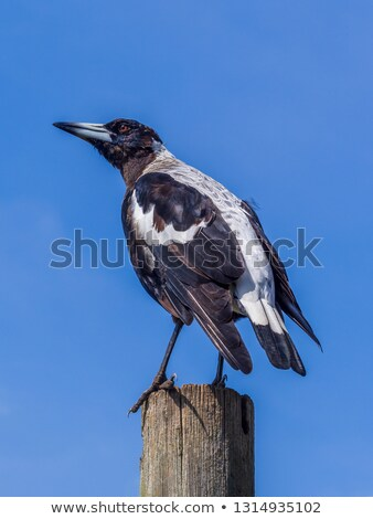 Pied Currawong (Strepera graculina) Stock photo © dirkr