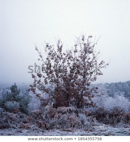 brumoso · helado · día · árbol · luz · nieve - foto stock © olandsfokus