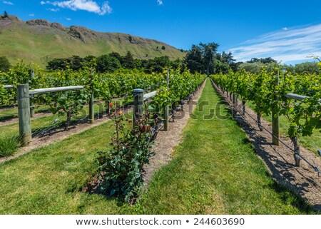 żółty róż słońce lata zielone winogron Zdjęcia stock © emattil