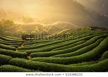 Té verde plantación paisaje negocios naturaleza salud Foto stock © art9858