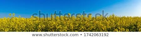 Rapeseed field panoramic view Stock photo © ldambies