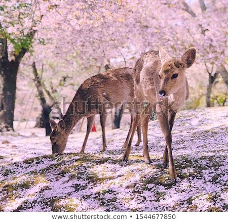 veado · livre · templo · parque · Japão · arquitetura - foto stock © photosil
