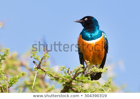 Superb Starling Bird, Lamprotornis superbus. Stock photo © kasto