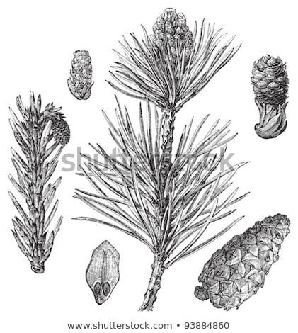 Scots pine or Pinus sylvestris, vintage engraving. Stock photo © Morphart