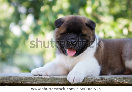 puppies american akita Stock photo © cynoclub
