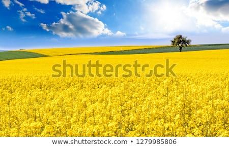 Frühling Landschaft gelb Felder blühen Hintergrund Stock foto © meinzahn