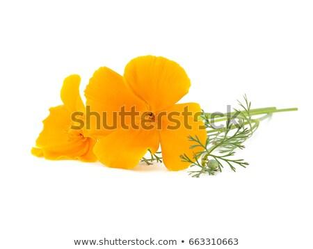 Amarelo laranja papoula flores silvestres oficial flor Foto stock © AlessandroZocc