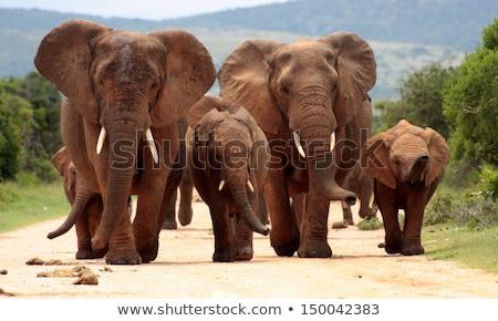 Fil yürüyüş kamera siyah beyaz park Güney Afrika Stok fotoğraf © simoneeman