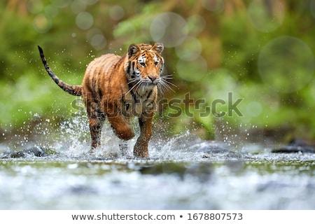 Jóvenes tigre comer pieza carne fondo Foto stock © OleksandrO