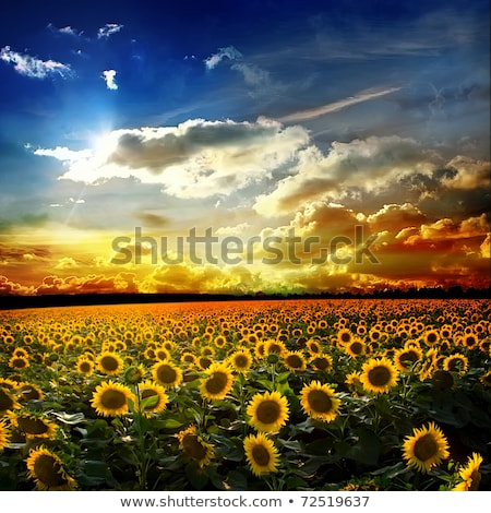Scenic landscape with sunflowers Stock photo © tracer