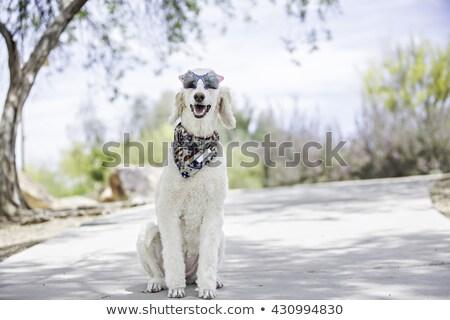 Goldendoodle dog wearing bandana. stock photo © iofoto