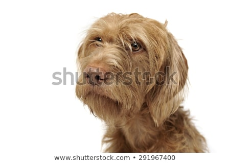 wired hair hungarian vizsla portrait in a white photo studio Stock photo © vauvau