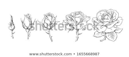 Set Kontur Rosen gemalt Kunst weiß Stock foto © blackmoon979